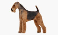 thumb_airedale-terrier