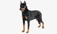 thumb_beauceron_