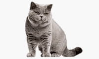 thumb_british-shorthair